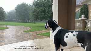Great Dane watches Tropical Storm Nestor in Florida [Video]
