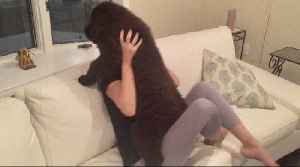 3-month-old Newfoundland shows off fluffy cuteness [Video]