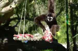 Cheeky gibbon steals present from companion at U.S. zoo [Video]