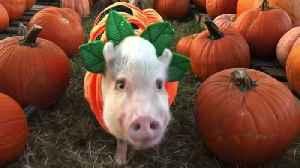 Pigs in a Pumpkin Patch [Video]