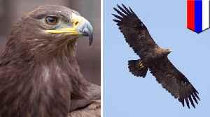 Migrating Russian eagle racks up eye-popping data roaming bill [Video]