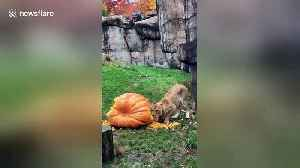 Lion celebrates Halloween with giant pumpkin [Video]