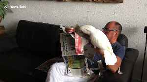 """No reading newspaper, Dad!"" Jealous cockatoo shreds human father's reading material [Video]"
