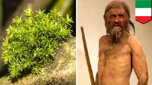 Otzi the Iceman's final journey retraced using moss [Video]