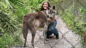 Giant Wolf Dog Yuki Fights Cancer | BIG DOGZ [Video]