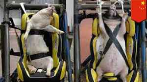 Chinese researchers using live pigs as crash test dummies [Video]