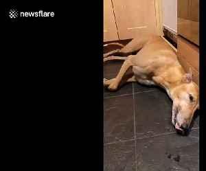 Terrified greyhound has meltdown thanks to scary fireworks [Video]