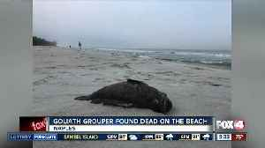 Dead goliath grouper found on the beach in Naples [Video]