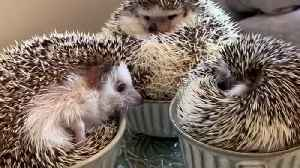 Hedgehogs sitting in teacups will brighten your day [Video]