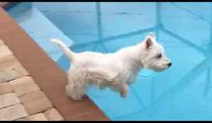Westie dog demonstrates perfect diving form [Video]