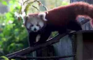 Red panda cubs debut in English zoo [Video]
