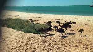Emu Father Takes Family to the Beach [Video]