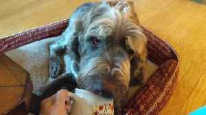 News video: Dog dying of cancer gets pumpkin spice coffee in bed