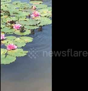 News video: Tiny duckling takes shortcut by running over lily pads in New Zealand
