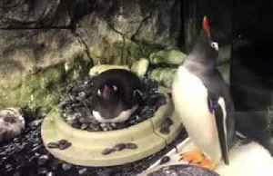 Two male penguins, Sphen and Magic, adopt second egg in Australia [Video]
