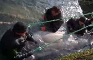 Russia begins release of remaining captive whales [Video]