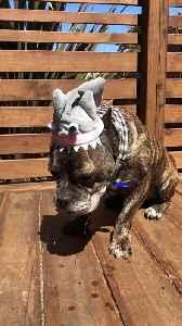 Dog Wearing Shark Cap Drools While Eating Treats [Video]