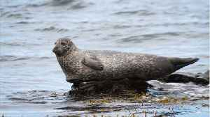 News video: A Measles Type Virus Is Killing Thousands Of Seals