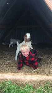 Toddler Boy Giggles While Little Goat Tries to Climb Him [Video]