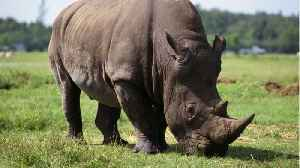 News video: Scientists Create Fake Rhino Horn To Help Stop Extinction