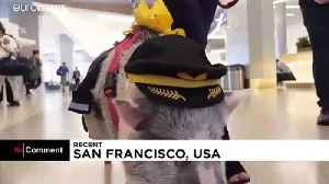 Airport therapy pig helps others to fly at San Francisco airport [Video]