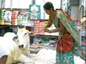 Stray cow becomes Indian cloth shop mascot after coming in to nap repeatedly [Video]