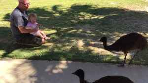 Dad and Daughter Visited by Emu Family [Video]