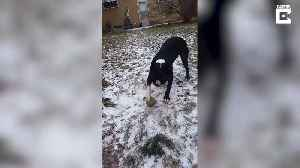 UNLUCKY DOG CAN'T PLAY WITH ITS FAVOURITE BALL AS IT'S FROZEN TO GROUND [Video]