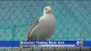 Botulism Making Birds Sick In Huntington Beach [Video]