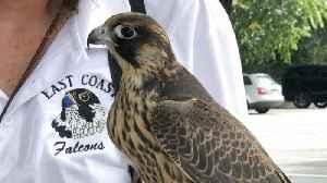 East Coast Falcons: Eliminating Pest Birds Through Falconry [Video]