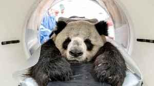 Berlin Zoo's First Panda Dad Undergoes Medical Treatment [Video]
