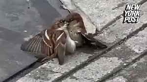 Two birds lock beaks in epic NYC street fight [Video]