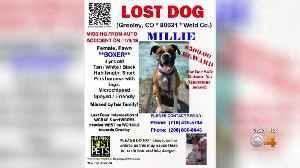 'Millie' The Dog Missing After Devastating Crash Near Greeley [Video]