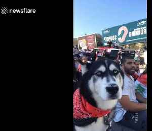 Husky howls along with demonstrators taking part in Lebanon's protests [Video]