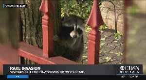 Raccoon Sighting Startles West Village Residents [Video]