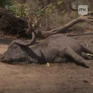 News video: Elephant death toll rises due to severe drought