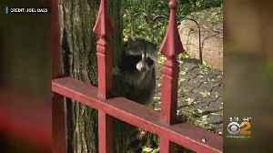 Raccoon Concerns In Manhattan [Video]