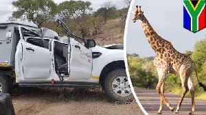 Giraffe hit by van dies and falls on jeep, killing Swiss tourist [Video]