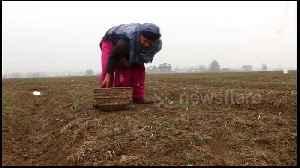 Untimely snowfall badly damages saffron crop in Indian state of Kashmir