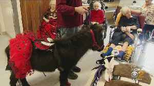 Therapy Mini-Horses Trot Into Nursing Home In Pittsburgh [Video]