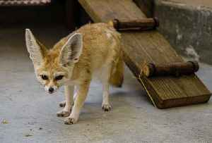 Raw Video: Rescued Fennec Fox Cared For At Oakland Zoo [Video]