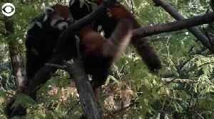WEB EXTRA: Red Pandas Make Public Debut [Video]