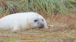 Grey seal colony draws visitors to annual spectacle in Lincolnshire, UK [Video]