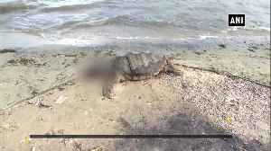 Carcass of giant Olive Ridley turtle found at Rameswaram beach [Video]