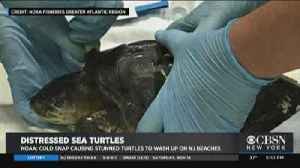 'Cold Stunned' Turtles Washing Ashore [Video]