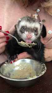 Woman Feeds and Pampers Little Ferret [Video]