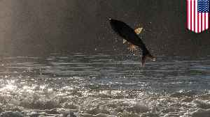 Asian carp linked to decline of native fish in Mississippi River [Video]