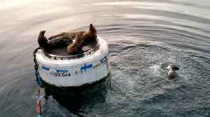 Sea Lions Won't Share Resting Place [Video]