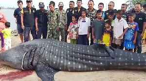 Heartbreaking moment whale shark is hauled ashore after being found floating in the sea [Video]