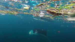Microplastics on the menu for manta rays and whale sharks [Video]